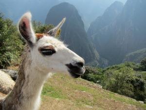 Llamas.. love 'em.