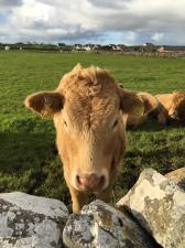 The cows of Doolin.